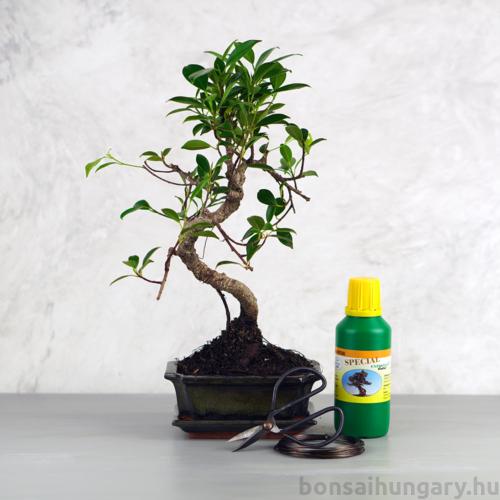 Bonsai ajándékcsomag - Ficus