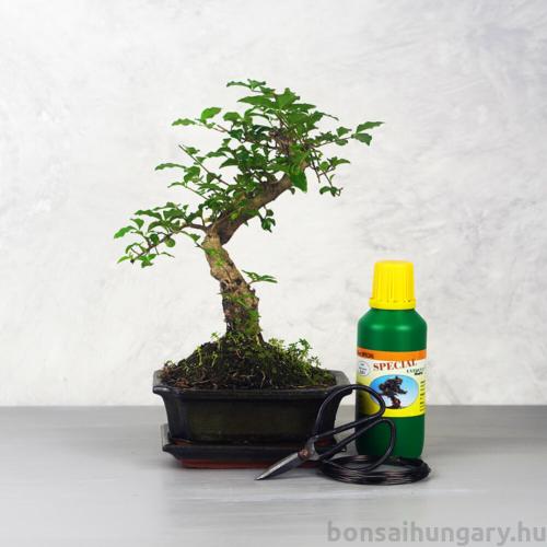 Bonsai ajándékcsomag - Ligustrum chinesis