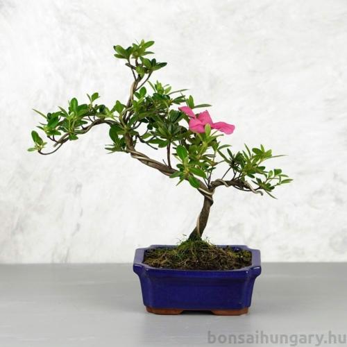 Rhododendron (Azálea) - hajlított törzsű, 15 cm