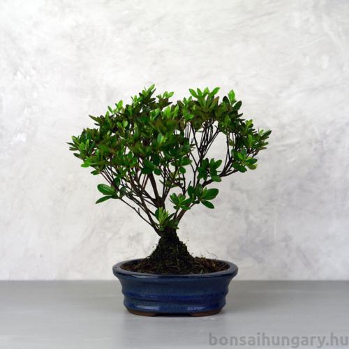 Rhododendron (Azálea) - egyenes törzsű, 16 cm