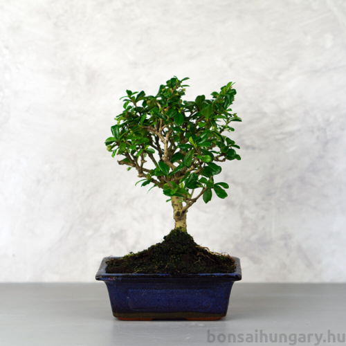 Carmona (Borágófa) bonsai
