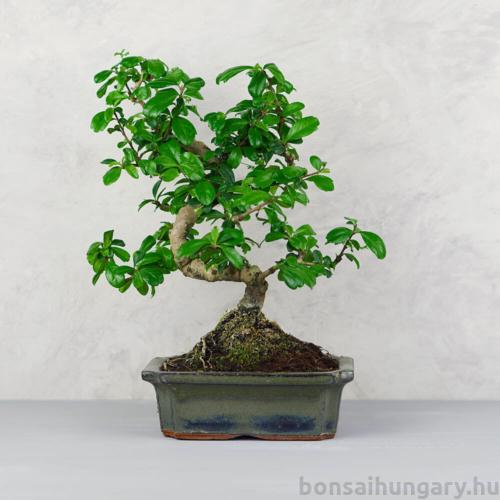 Carmona (Borágófa) bonsai - több méretben