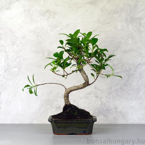 Ficus (fikusz) - hajlított törzsű, 15 cm-es cserépben