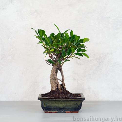 Ficus (fikusz) - egyenes, 20 cm-es cserépben