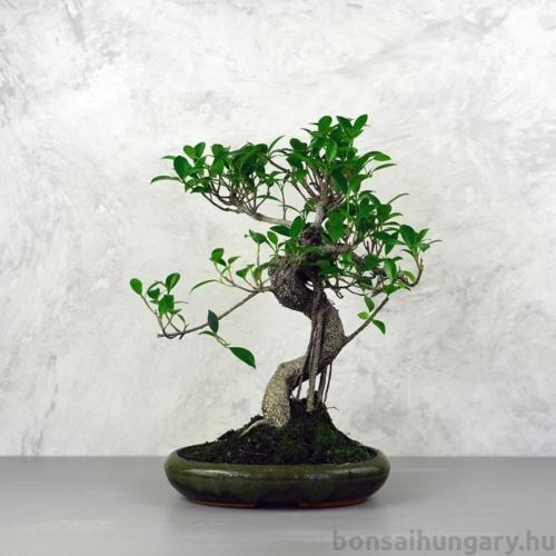 Ficus (fikusz) - hajlított törzsű, 24 cm-es cserépben