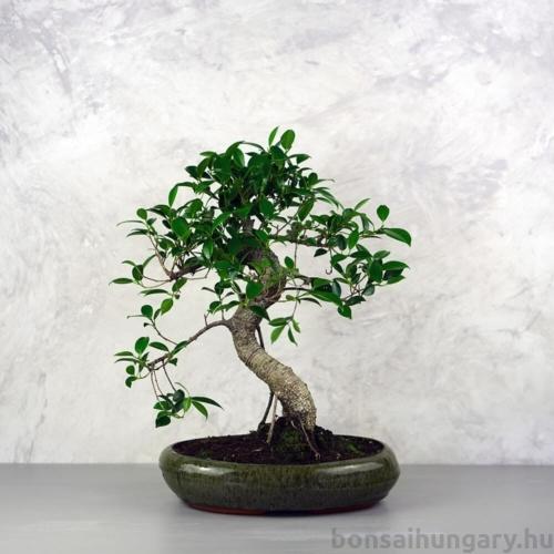 Ficus (fikusz) - hajlított törzsű, 28 cm-es cserépben