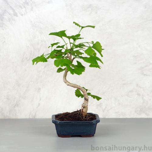 Ginkgo biloba (Páfrányfenyő) bonsai