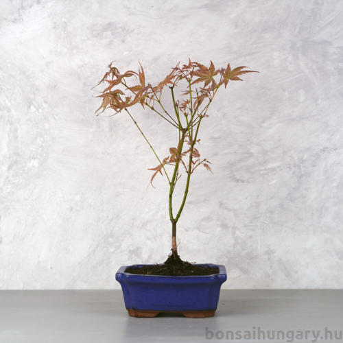 Acer (Juhar) bonsai