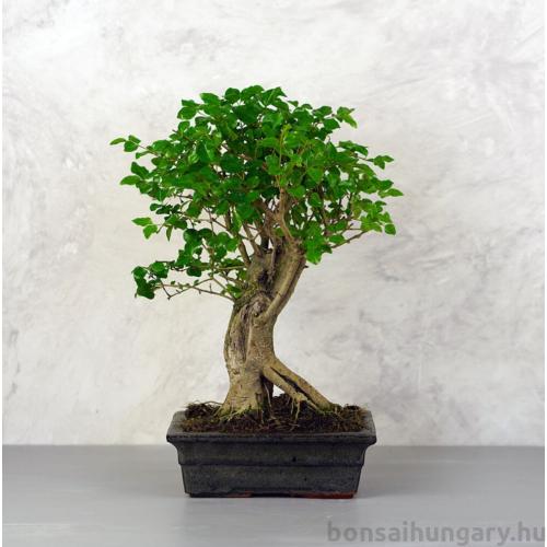 Ligustrum chinesis (Kínai fagyal) bonsai