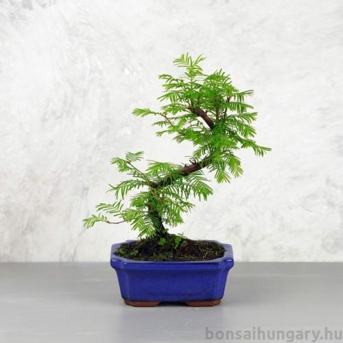 Metasequoia (Mamutfenyő) bonsai