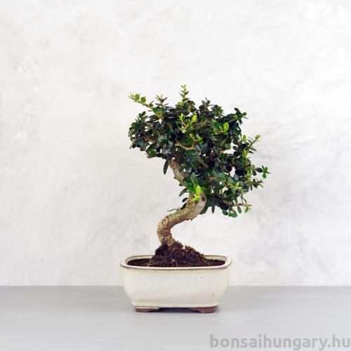Olea (Olajfa) bonsai