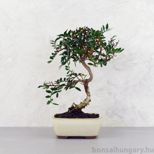 Pistacia lentiscus (Pisztácia) bonsai