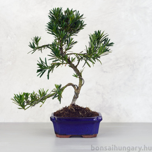 Podocarpus (Kőtiszafa) - több méretben