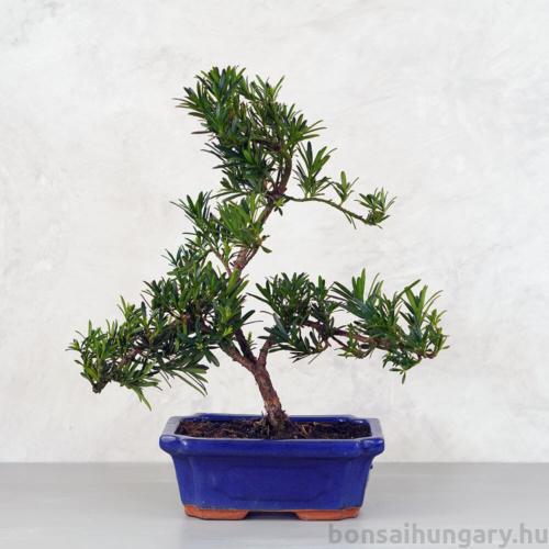 Podocarpus (Kőtiszafa) - hajlított törzsű, 20 cm