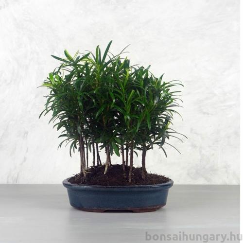 Podocarpus (Kőtiszafa) - erdő, 20 cm