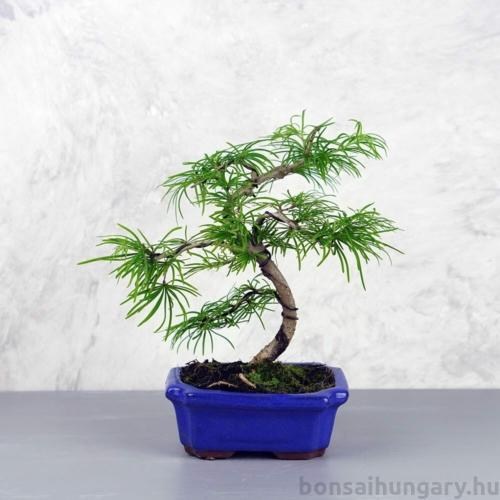 Pseudolarix (Kínai aranyfenyő) bonsai