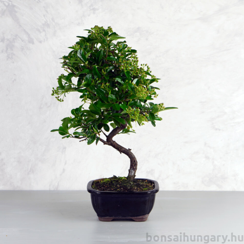 Pyracantha (Tűzövis) bonsai - hajlított törzsű