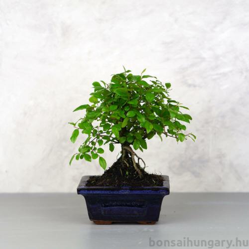 Sagaretia (Kínai édesszilva) bonsai