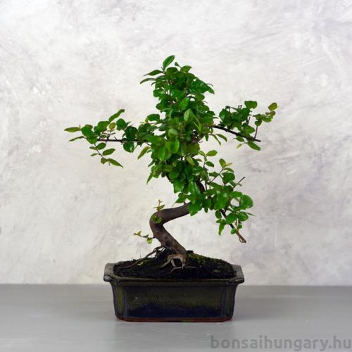 Sageretia (Kínai édesszilva) bonsai