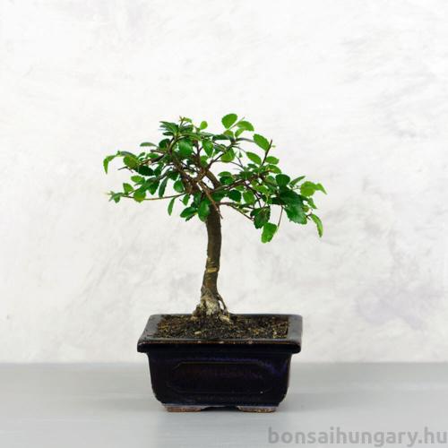 Ulmus parvifolia (Kínai szil) bonsai - egyenes törzsű, 12 cm