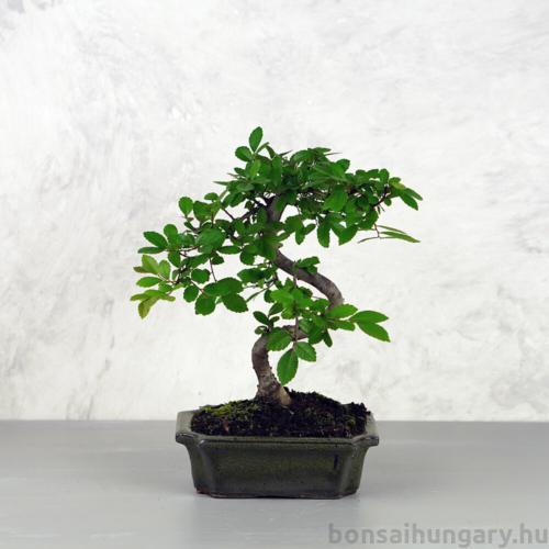 Ulmus parvifolia (Kínai szil) bonsai - hajlított törzsű, 15 cm