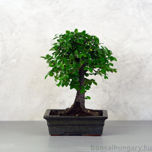 Ulmus parvifolia (Kínai szil) bonsai - egyenes törzsű, 20 cm