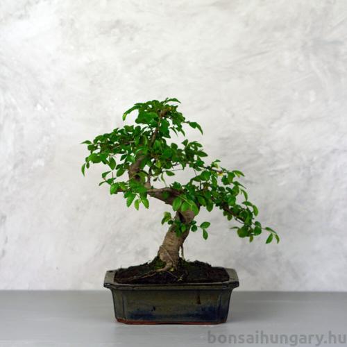 Ulmus parvifolia (Kínai szil) bonsai - hajlított törzsű, 20 cm