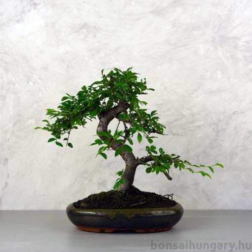 Ulmus parvifolia (Kínai szil) bonsai - hajlított törzsű, 24 cm