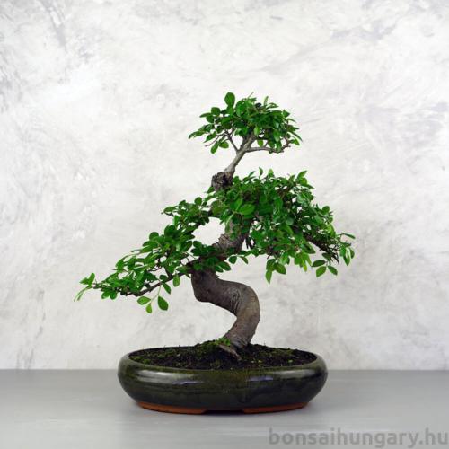 Ulmus parvifolia (Kínai szil) bonsai - hajlított törzsű, 28 cm