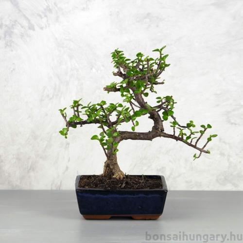 Portulacaria afra (Japán pénzfa) bonsai