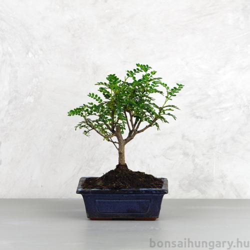 Zanthoxylum piperitum (Borsfa) bonsai