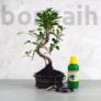 Kép 1/7 - Bonsai ajándékcsomag - Ficus
