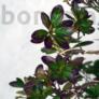 Kép 2/4 - Rhododendron (Azálea) bonsai