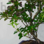 Kép 3/3 - Rhododendron (Azálea) bonsai