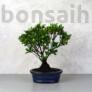 Kép 1/3 - Rhododendron (Azálea) - egyenes törzsű, 16 cm