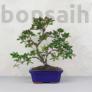 Kép 1/2 - Rhododendron (Azálea) - hajlított törzsű, 20 cm