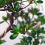 Kép 2/2 - Rhododendron (Azálea) bonsai