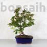 Kép 4/4 - Rhododendron (Azálea) bonsai