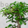 Kép 3/6 - Carmona bonsai lombja
