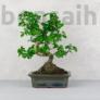 Kép 1/3 - Carmona (Borágófa) bonsai