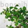 Kép 2/3 - Carmona (Borágófa) bonsai lomb