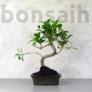 Kép 1/3 - Ficus (fikusz) - hajlított törzsű, 15 cm-es cserépben