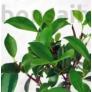 Kép 2/3 - Ficus (fikusz) bonsai - hajlított törzsű, lombozata