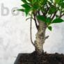 Kép 2/6 - Ficus retusa bonai törzse