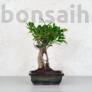 Kép 1/3 - Ficus (fikusz) - egyenes, 20 cm-es cserépben