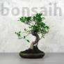 Kép 1/3 - Ficus (fikusz) - hajlított törzsű, 24 cm-es cserépben
