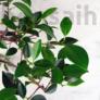 Kép 2/3 - Ficus (fikusz) - hajlított törzsű, lombozat