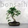 Kép 1/3 - Ficus (fikusz) - hajlított törzsű, 28 cm-es cserépben
