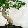 Kép 3/3 - Ficus (fikusz) bonsai - hajlított törzsű