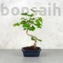 Kép 1/3 - Ginkgo biloba (Páfrányfenyő) bonsai